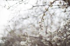 Biały Migdałowy okwitnięcie kwitnie wczesnego wiosny kwitnienie i rozgałęzia się Fotografia Royalty Free
