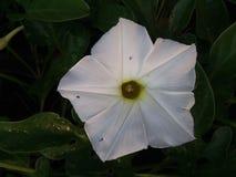 Biały moonflower fotografia royalty free