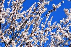 biały morelowi kwiaty Piękny kwiatonośny morelowy drzewo obrazy stock