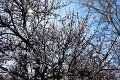 biały morelowi kwiaty Piękny kwiatonośny morelowy drzewo zdjęcie stock