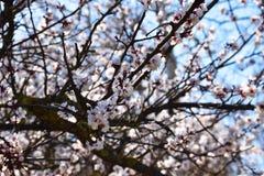 biały morelowi kwiaty Piękny kwiatonośny morelowy drzewo fotografia stock