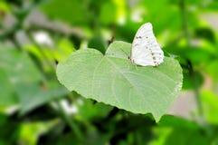 Biały Morpho motyl na wielkim liściu Obrazy Royalty Free