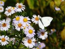 Biały motyl na łące Zdjęcie Stock
