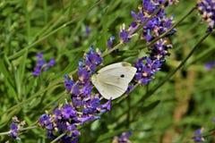 Biały motyl na gałąź lawenda Obrazy Stock
