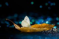 Biały motyl na jesień liściu na czarnym tle Zdjęcia Royalty Free
