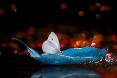 Biały motyl na jesień liściu na czarnym tle Obraz Royalty Free