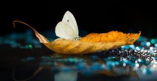 Biały motyl na jesień liściu na czarnym tle Zdjęcie Royalty Free