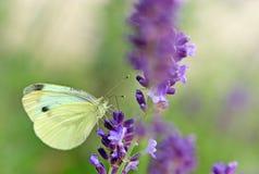 Biały motyl na lawendzie Zdjęcia Royalty Free