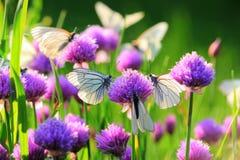 Biały motyl na szczypiorków kwiatach Fotografia Royalty Free