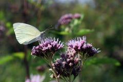 Biały motyl siedzi na kwiacie na łące fotografia stock