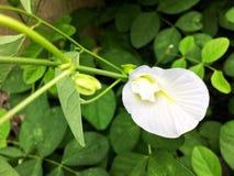 Biały motyli groch lub błękitny groch Zdjęcia Royalty Free