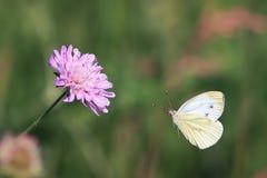 Biały motyli lata lily kwiat na pięknym lata tle Obraz Stock