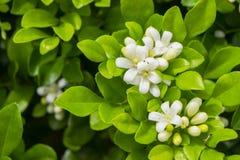 Biały murraya paniculata kwiat zdjęcie royalty free