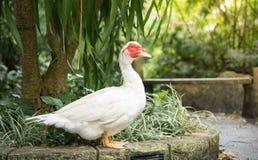Biały Muscovy kaczki portret, Piżmowa kaczka, Indoda, Barbary kaczka Zdjęcie Royalty Free