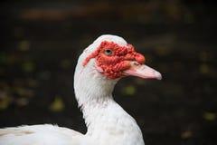 Biały Muscovy kaczki portret, Piżmowa kaczka, Indoda, Barbary kaczka Zdjęcie Stock