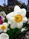 Biały narcyz w ogródzie obrazy royalty free