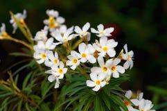 Biały nerium oleander Zdjęcia Royalty Free