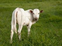 Biały Nguni łydkowy przyglądający przy tobą z powrotem Fotografia Royalty Free