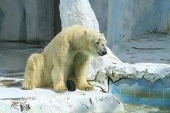 Biały niedźwiedź Obrazy Royalty Free