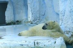 Biały niedźwiedź Obrazy Stock