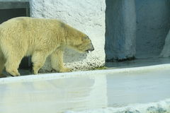 Biały niedźwiedź Zdjęcia Royalty Free