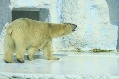 Biały niedźwiedź Fotografia Royalty Free