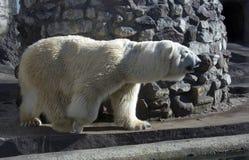 Biały niedźwiedź Zdjęcia Stock