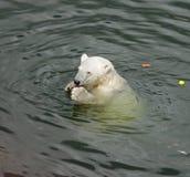 Biały niedźwiedź je marchewki Obrazy Stock