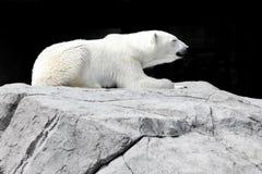 Biały niedźwiedź kłama na skale zdjęcie royalty free