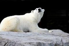 Biały niedźwiedź kłama na skale obraz stock