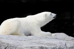 Biały niedźwiedź kłama na skale zdjęcia royalty free
