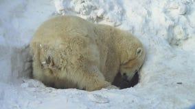 Biały niedźwiedź kopie lair zbiory wideo