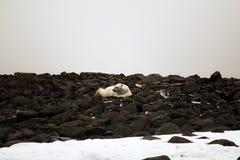 Biały niedźwiedź lokalizuje na resztkach wyposażenie Ziegler wyprawa biegun północny zdjęcia royalty free