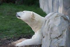 Biały niedźwiedź polarny Zdjęcia Royalty Free