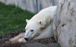 Biały niedźwiedź polarny Zdjęcia Stock