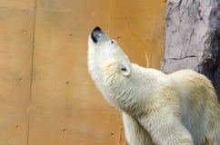 Biały niedźwiedź polarny zaskamla Fotografia Stock