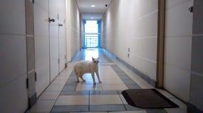 Biały nieznajomego kot obrazy stock