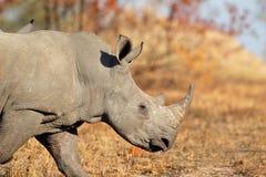Biały nosorożec Zdjęcie Royalty Free