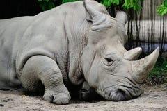Biały Nosorożec Zdjęcia Royalty Free