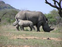 Biały nosorożec dziecko i mum Fotografia Royalty Free