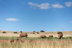 Biały nosorożec krajobraz Fotografia Stock