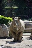 Biały nosorożec portret Zdjęcia Royalty Free
