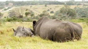 Biały nosorożec rodziny dosypianie Zdjęcie Royalty Free