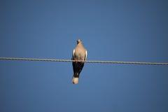 biały nurkujący skrzydlata Obraz Royalty Free