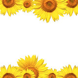 biały odosobneni tło słoneczniki Zdjęcie Stock
