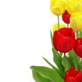 biały odosobneni tło tulipany Obrazy Royalty Free