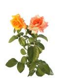 biały odosobnione róże Obrazy Royalty Free