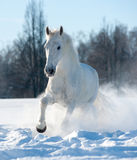 Biały ogier Fotografia Stock