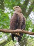 Biały ogoniasty Eagle obraz stock