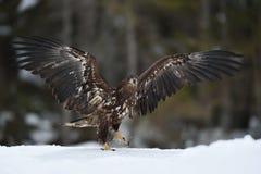 Biały ogoniasty orła odprowadzenie na śniegu Fotografia Royalty Free